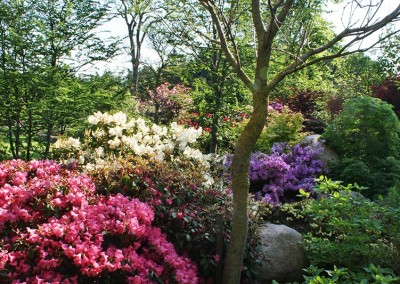 The Rhododendron beds