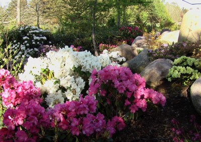 Rhododendron (12)