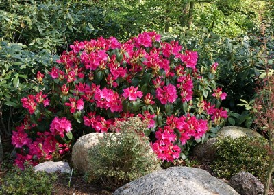 Rhododendron (16)