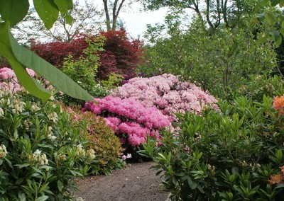 Rhododendron (33)