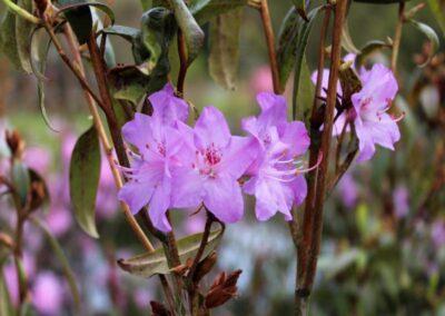 Rhododendron augustinii ssp. augustinii