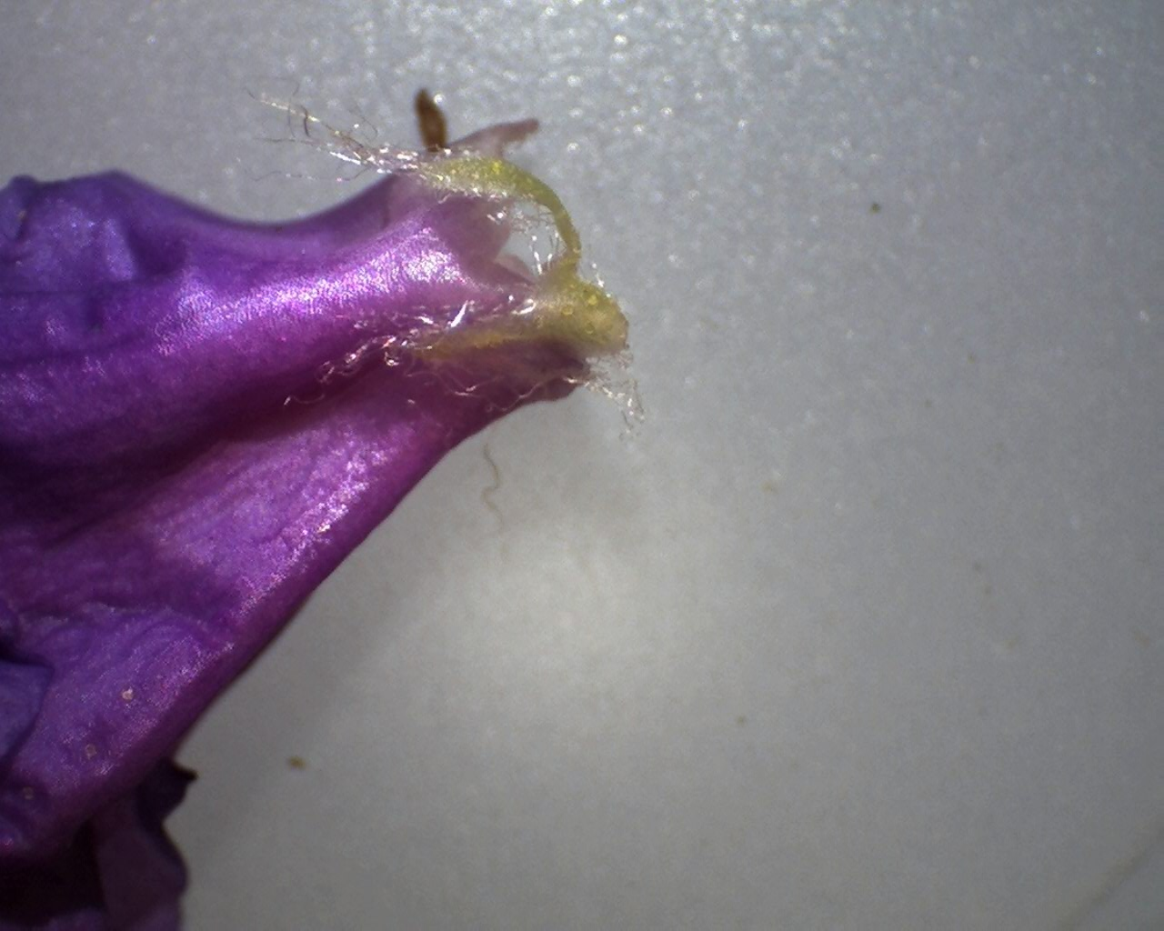 Rh. augustinii ssp. augustinii hårede bægerbl.