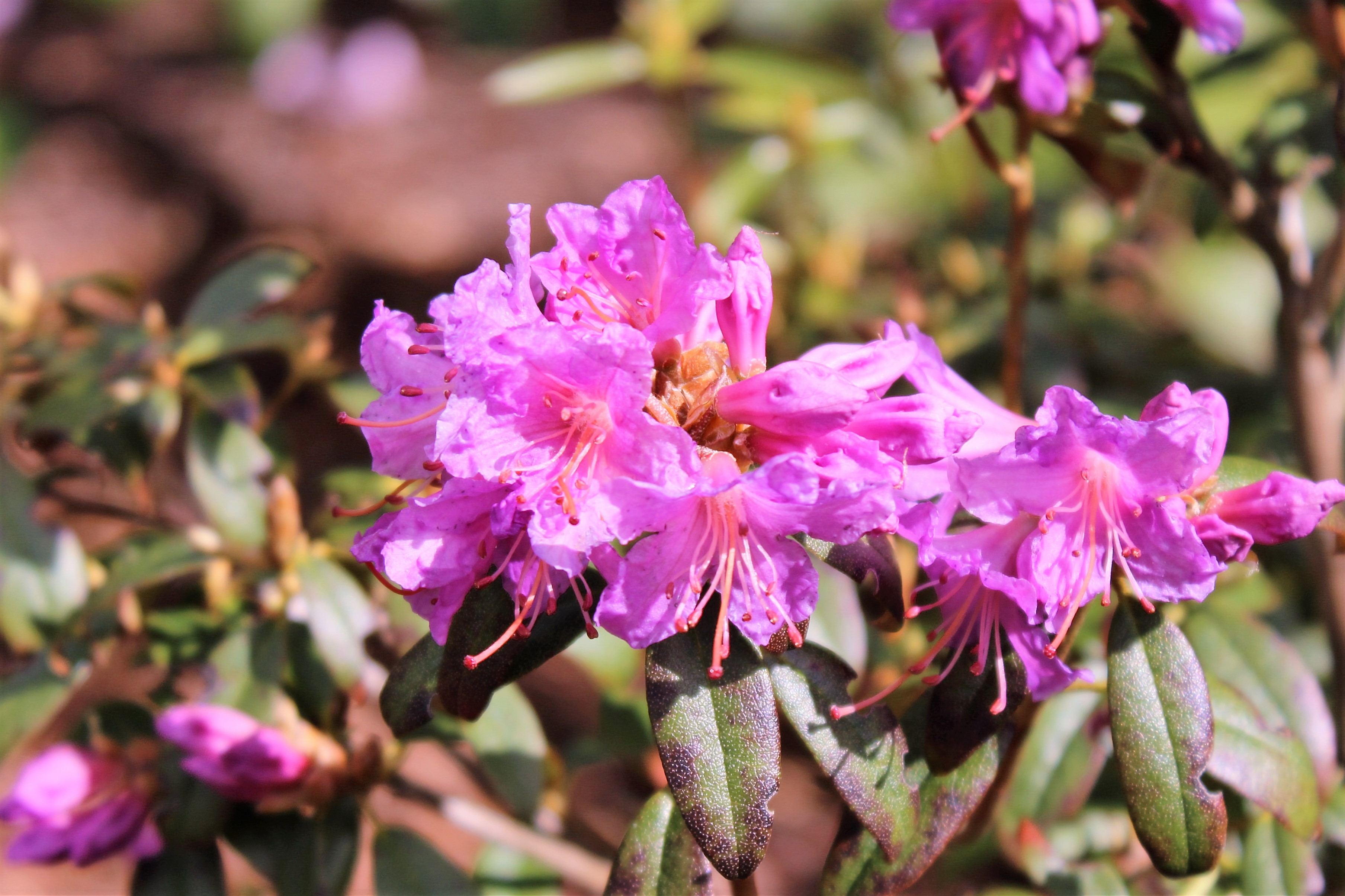Rh. augustinii ssp. augustinii