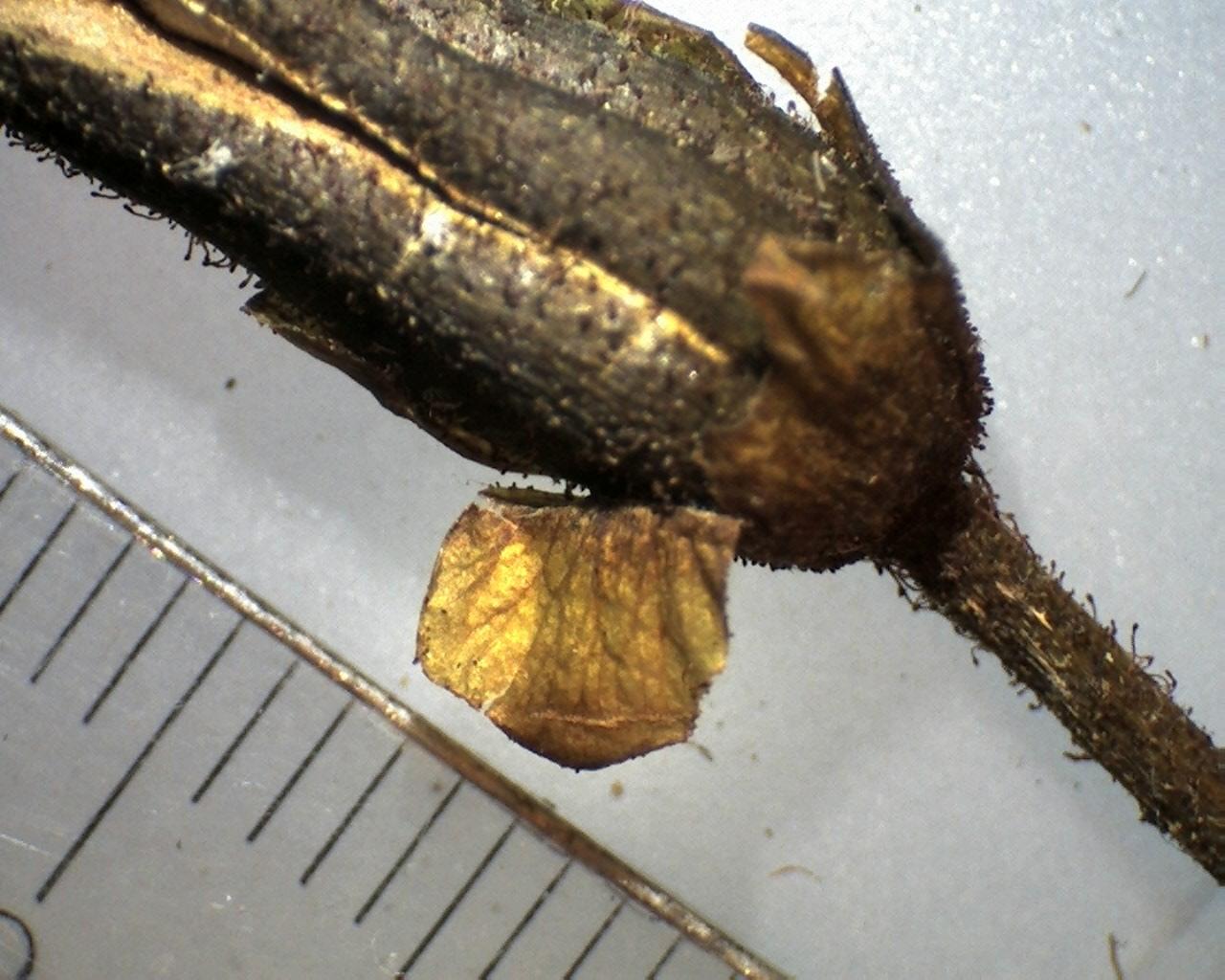 Rh. faberi frøkapsel Omei x 10 (1) m. løs calyx
