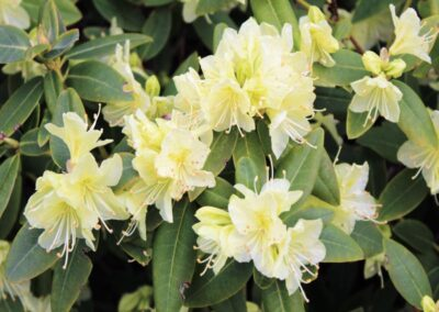 Rhododendron keiskei var. keiskei