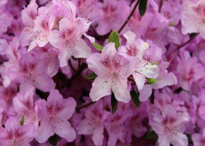 Rhododendron yedoense v. poukhanense