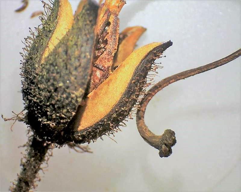 Rh. albrechtii, hairy stipitate glandular capsule, Aixingarden 2016-800