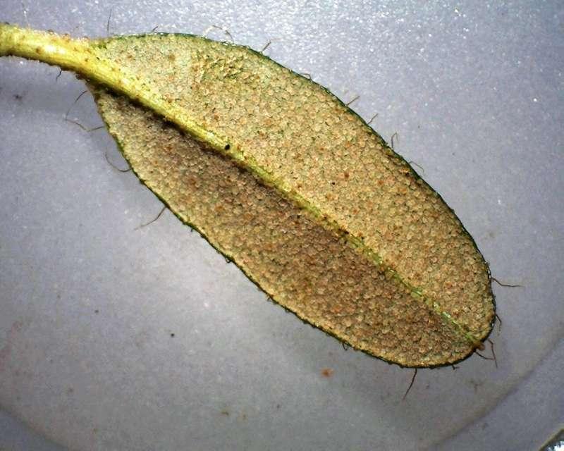 rh-calostrotum-ssp-keleticum-leaf-l-surface-aixingarden-2016-800