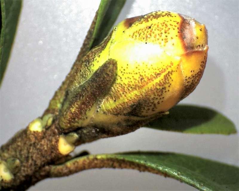 rh-ferrugineum-flower-bud-aixingarden-2016-800