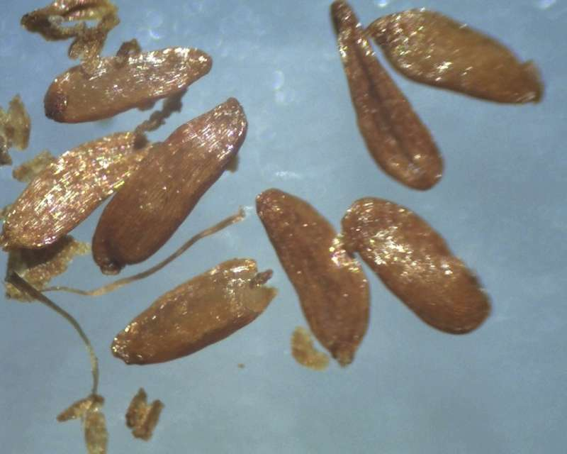 rh-kaempferi-seeds-1300-1600-micrs-aixingarden-2016-800