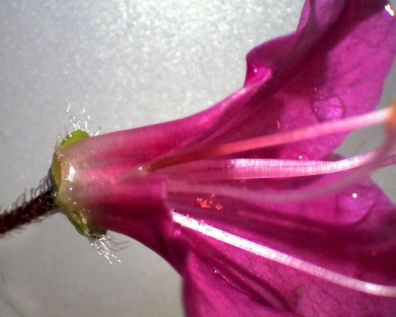 rh-kiusianum-var-kiusianum-hairy-pedicel-and-calyx-aixingarden-2016-800
