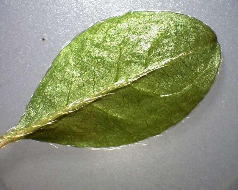 rh-kiusianum-var-kiusianum-leaf-l-surface-aixingarden-2016-800