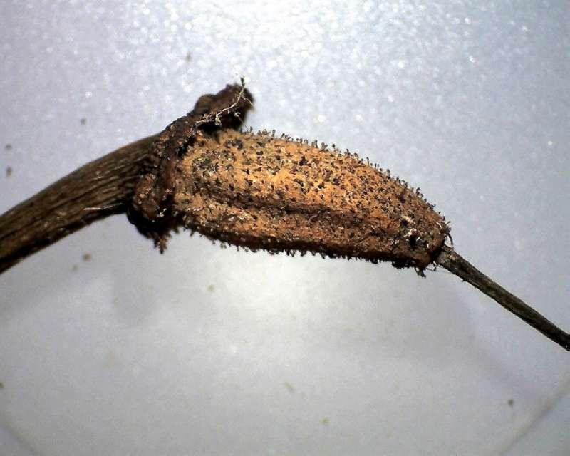 Rh. thomsonii lopsangianum, hairy glandular capsule, Aixingarden 2016-800