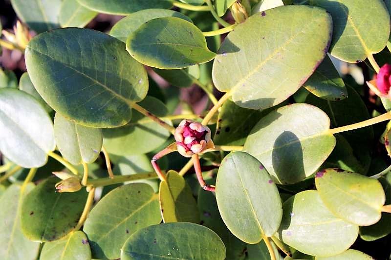 Rh. thomsonii ssp. lopsangianum, Aixingarden 2016 (4)-800
