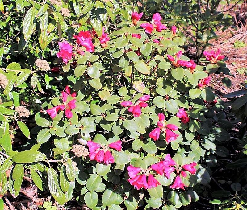 Rh. thomsonii ssp. lopsangianum, Aixingarden 2016-800
