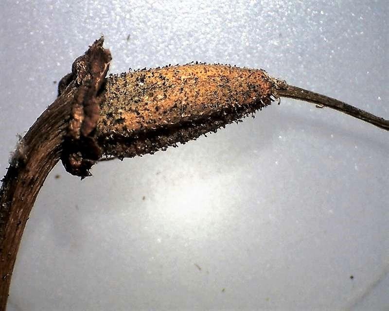 Rh. thomsonii ssp. lopsangianum, capsule, Aixingarden 2016-800