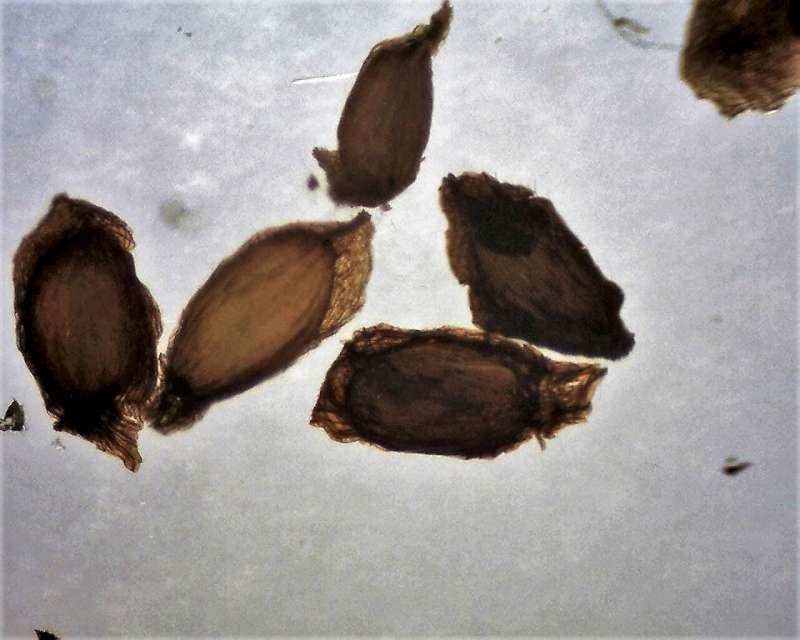 Rh. thomsonii ssp. lopsangianum, seeds, Aixingarden 2016-800