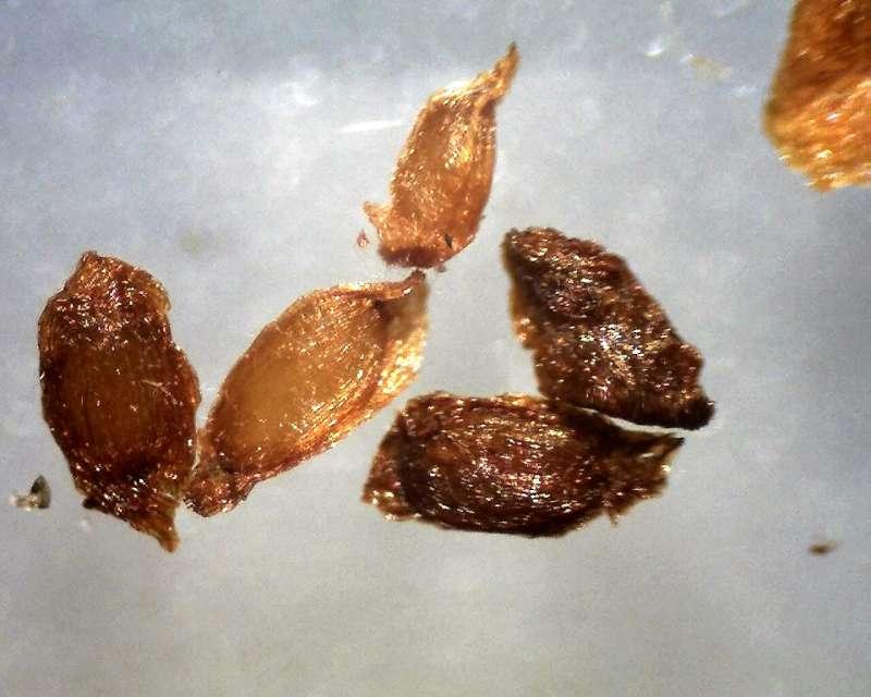 Rh. thomsonii ssp. lopsangianum, seeds length 1300 - 1600 micrs., Aixingarden 2016-800