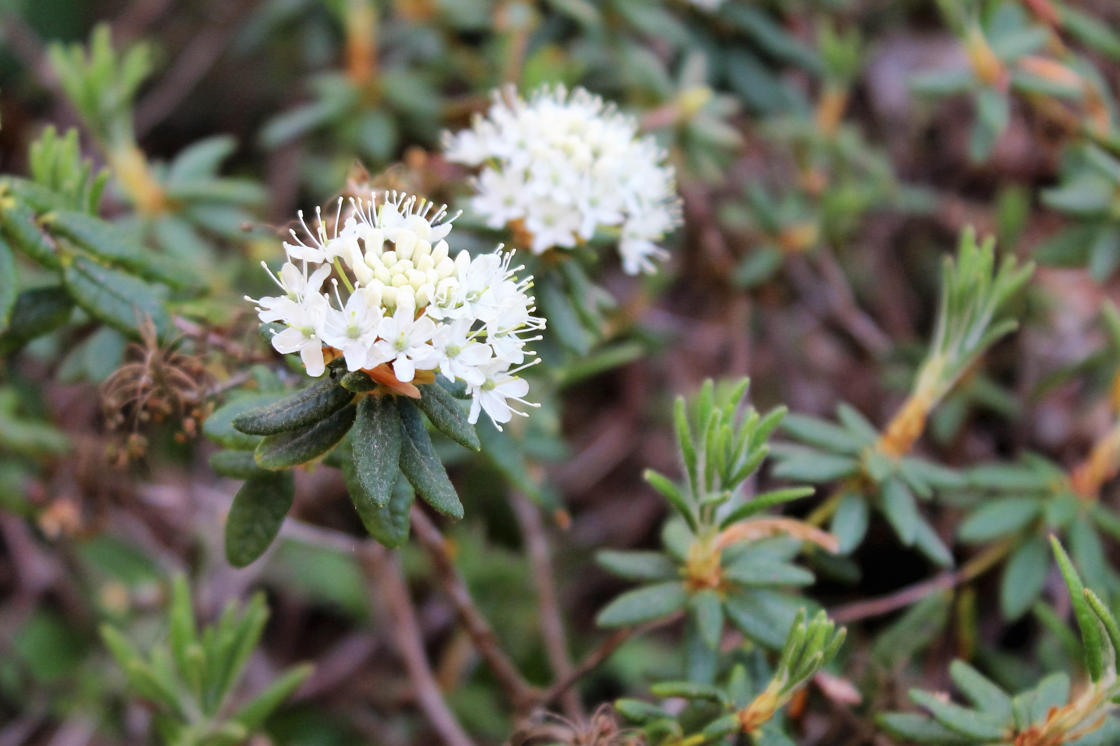 Rh. tomentosum ssp. groenlandicum, Aixingarden 2016 (2)