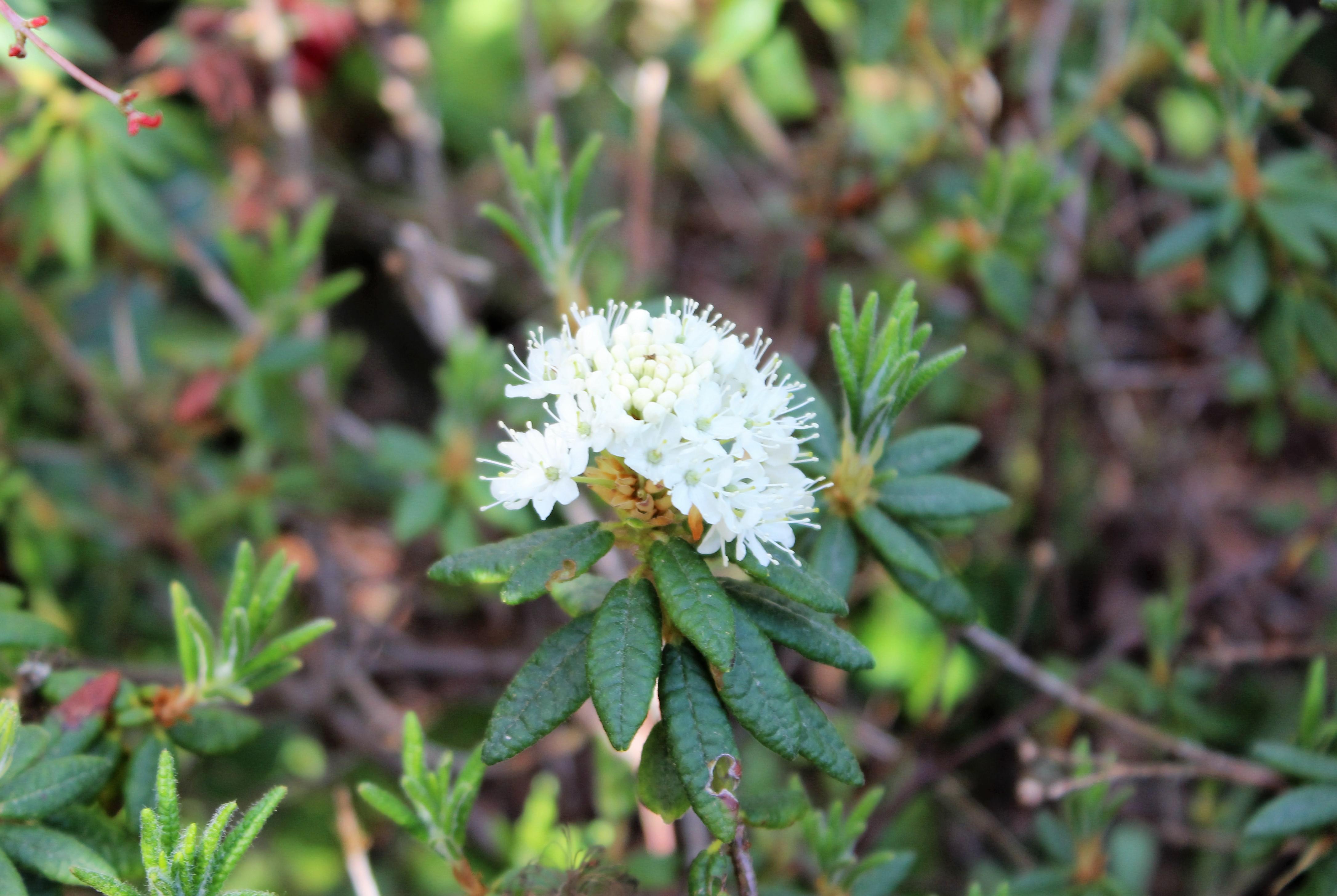 Rh. tomentosum ssp. groenlandicum, Aixingarden 2016 (3)