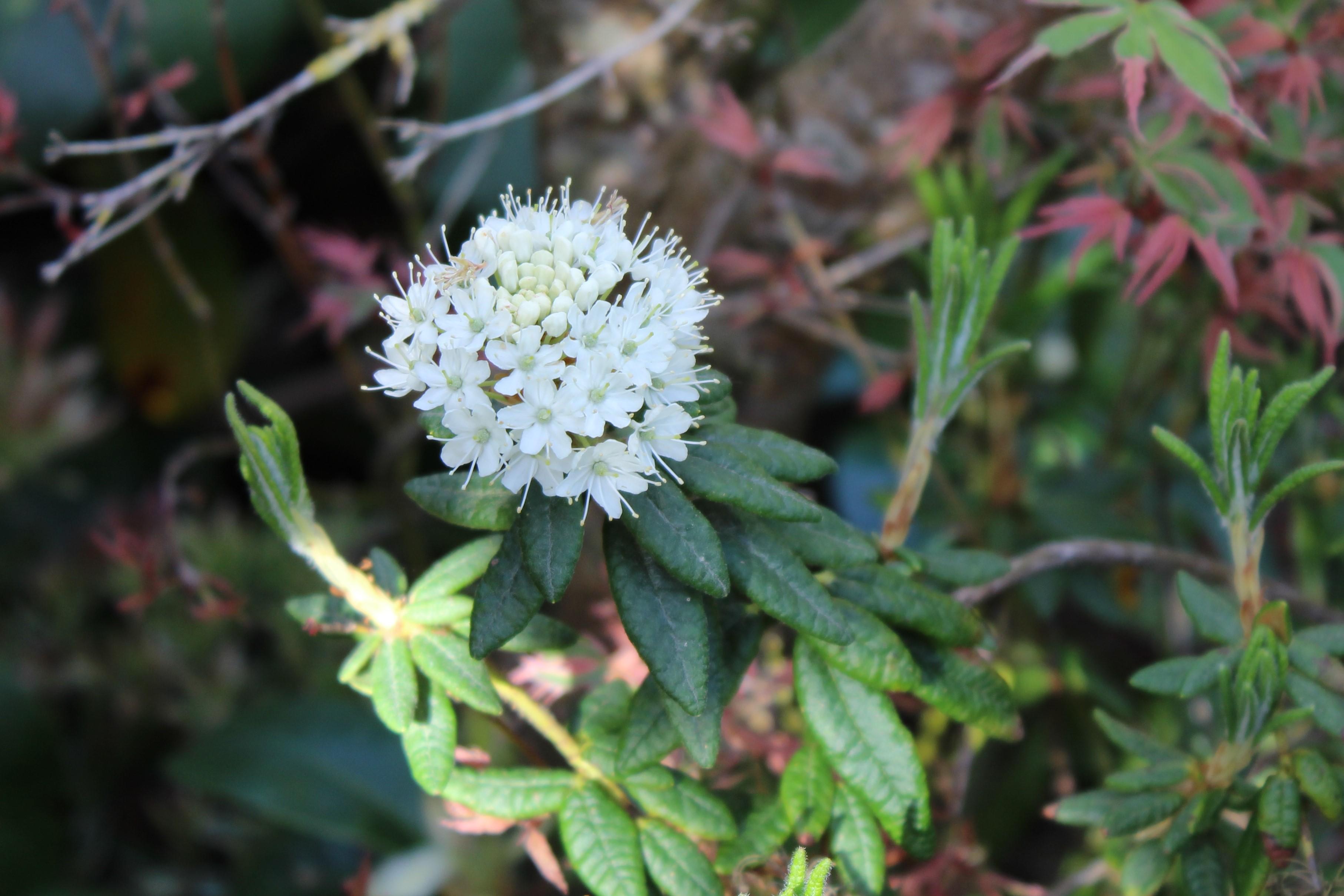 Rh. tomentosum ssp. groenlandicum, Aixingarden 2016
