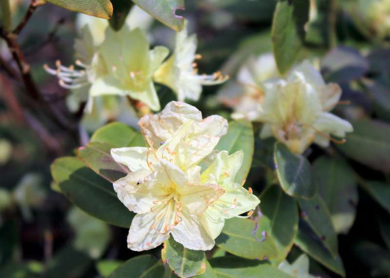 rhododendron-keiskei-aixingarden-2016-800