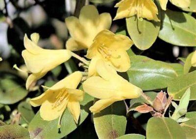 Rhododendron cinnabarinum ssp. xanthocodon