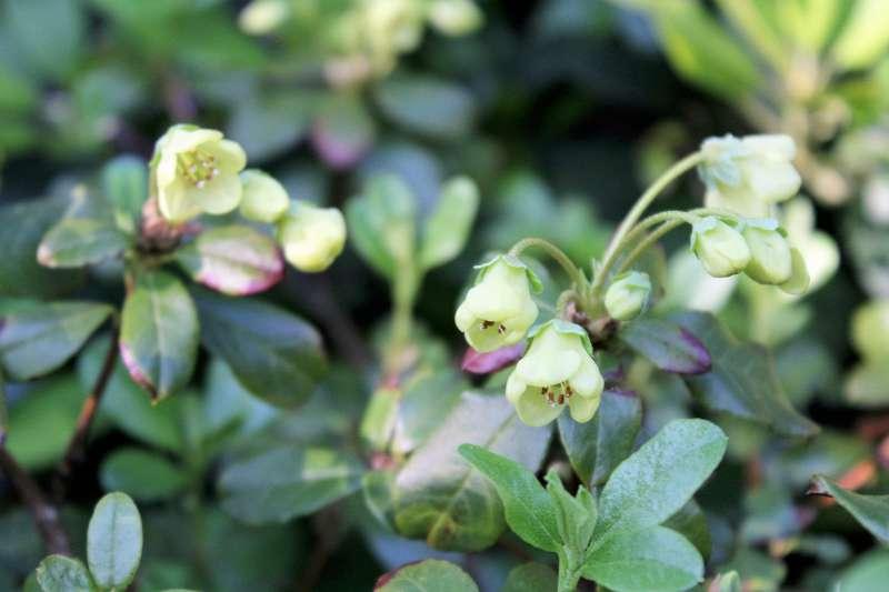 rh-brachyanthum-ssp-hypolepidotum-aixingarden-2016-2-800