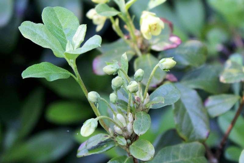 rh-brachyanthum-ssp-hypolepidotum-aixingarden-2016-3-800