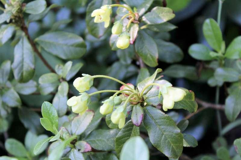 rh-brachyanthum-ssp-hypolepidotum-aixingarden-2016-4-800