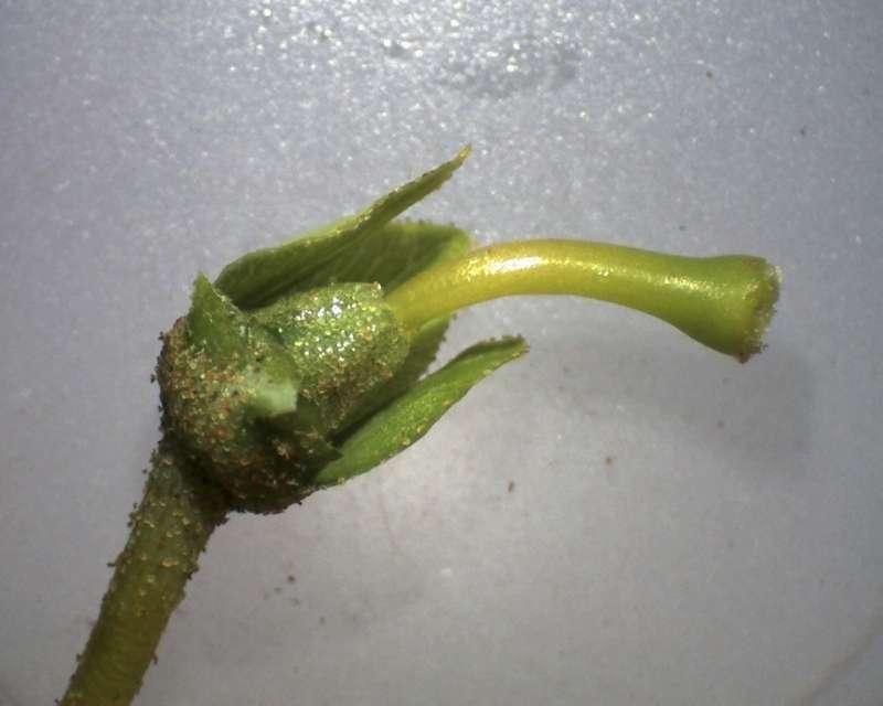 rh-brachyanthum-ssp-hypolepidotum-ovary-and-style-x10-aixingarden-2016-800