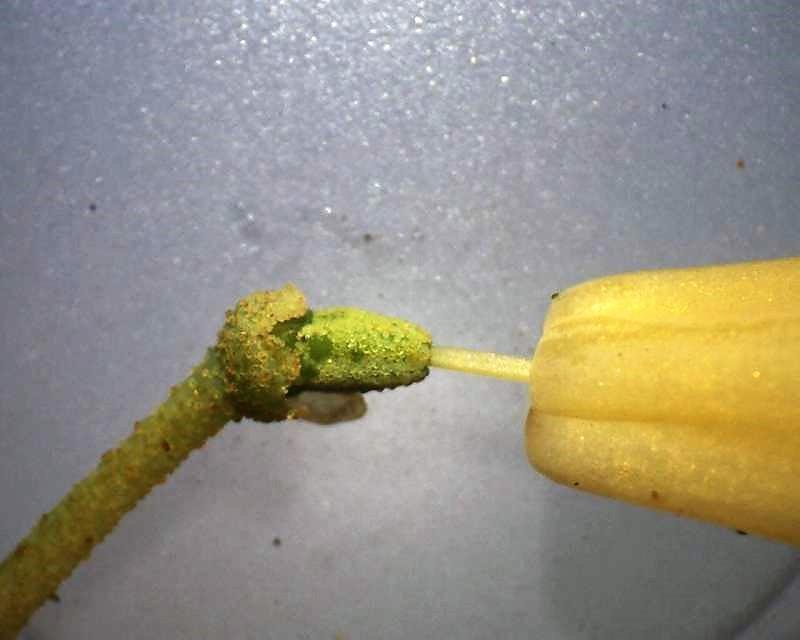 rh-cinnabarinum-ssp-xanthocodon-calyx-ovary-x10-aixingarden-2016-800