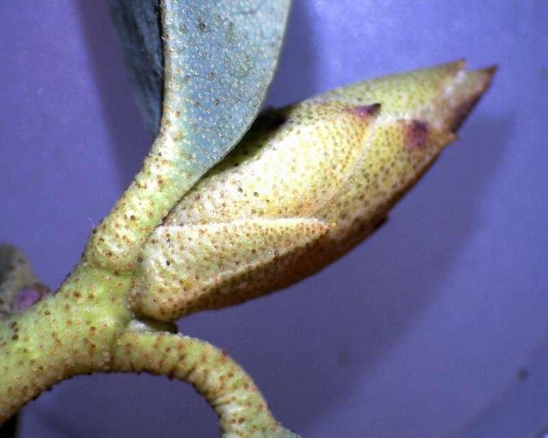 rh-cinnabarinum-ssp-xanthocodon-lepidote-branchlet-and-terminal-flower-bud-aixingarden-2016-800