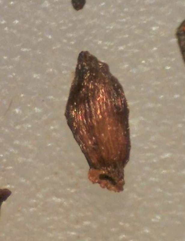 rh-cinnabarinum-ssp-xanthocodon-seed-aixingarden-2016-800