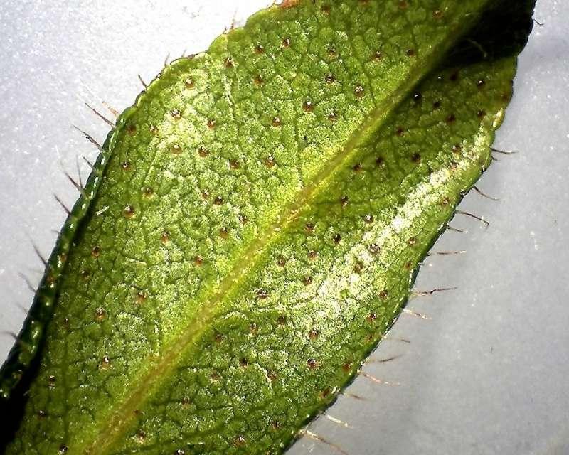 rh-hirsutum-leaf-l-surface-x10-aixingarden-2016-800