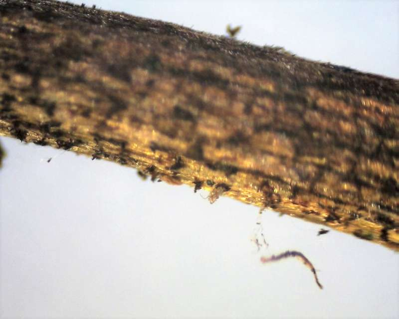 rh-insigne-pubescent-and-glandular-hairy-pedicel-aixingarden-2016-800