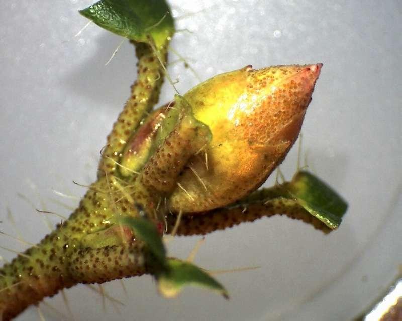 rh-lepidostylum-flower-bud-aixingarden-2016-800