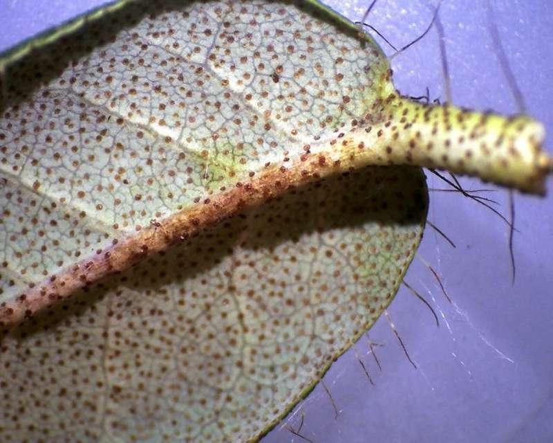 rh-lepidostylum-old-leaf-l-surface-x10-aixingarden-2016-800
