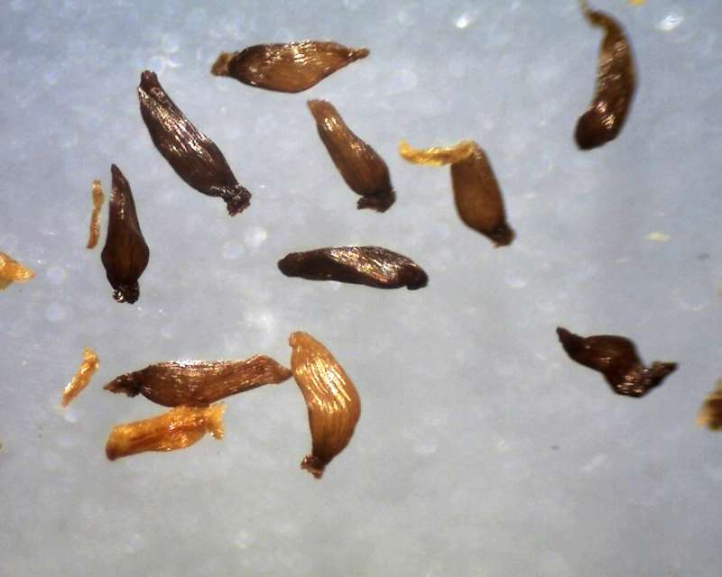 rh-lepidostylum-seeds-length-09-10-mm-aixingarden-2016-800