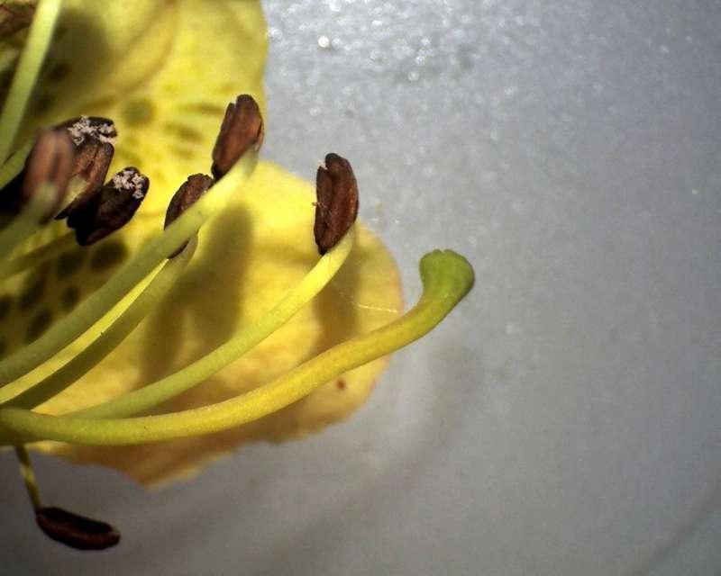 rh-lepidostylum-stamens-and-style-x-10-aixingarden-2016-800