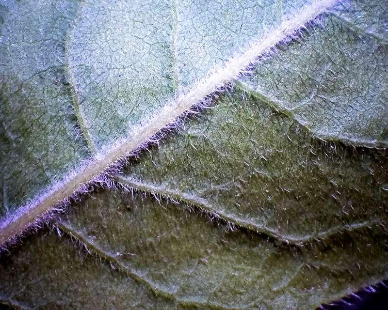 rh-prinophyllum-leaf-l-surface-x10-aixingarden-2016-800