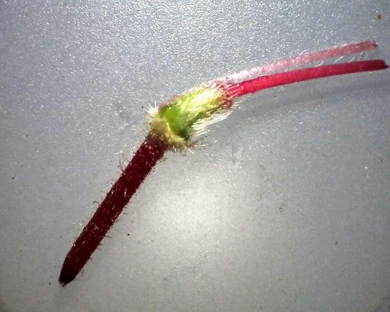 rh-prinophyllum-pedicel-ovary-prox-stamen-and-style-aixingarden-2016-800