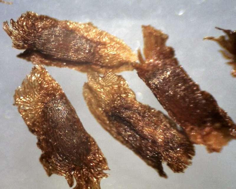 rh-prinophyllum-seeds-2500-2850-micrs-aixingarden-2016-800