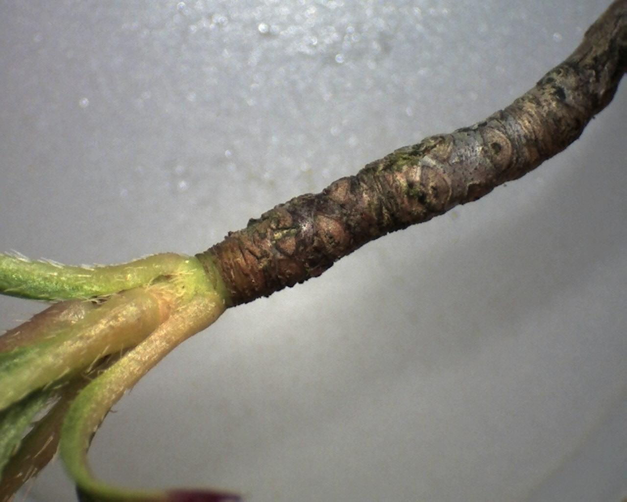 Rh. viscosum branchlet x10, Aixingarden 2016