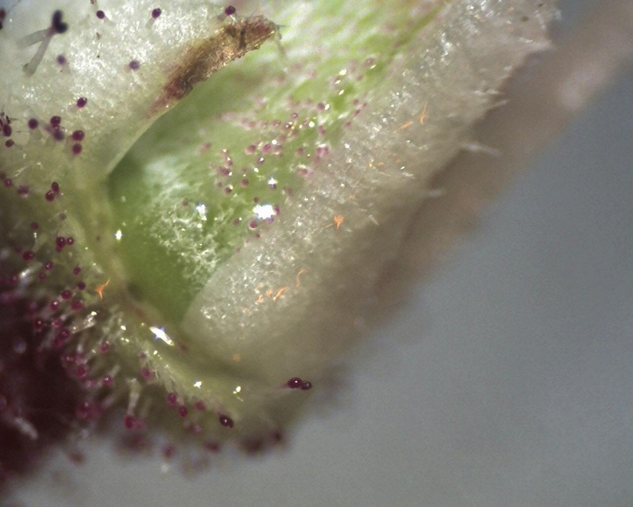 Rh. viscosum ovary w. glandular hairs x60, Aixingarden 2016