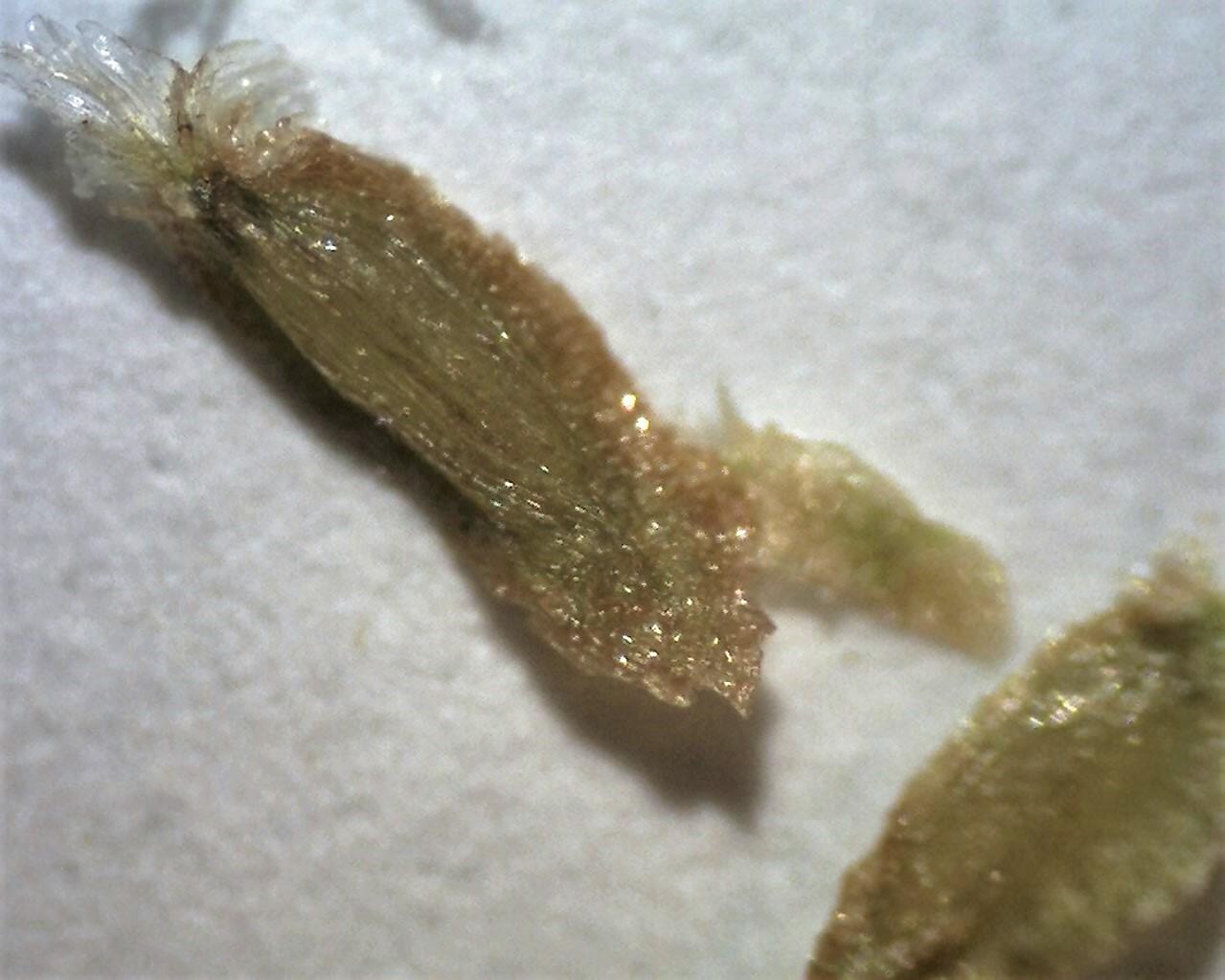 rh-rex-longzhou-shan-seeds