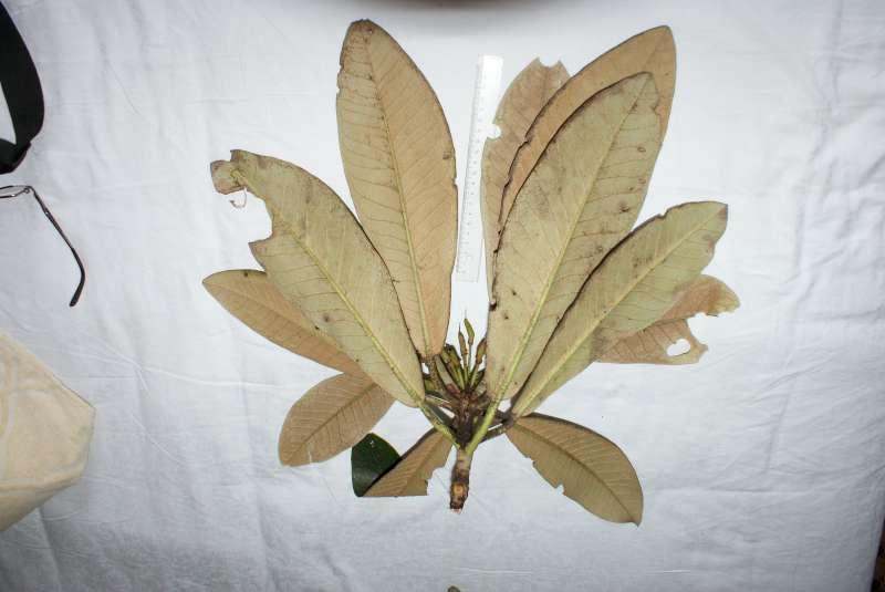 rh-rex-leaves-lower-surfaces-long-zhou-shan-2013-800