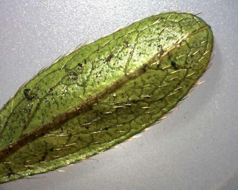rh-kiusianum-var-sataense-leaf-l-side-800