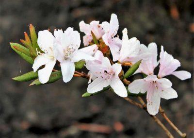 Rhododendron tashiroi