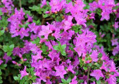 Rhododendron kiusianum var. kiusianum